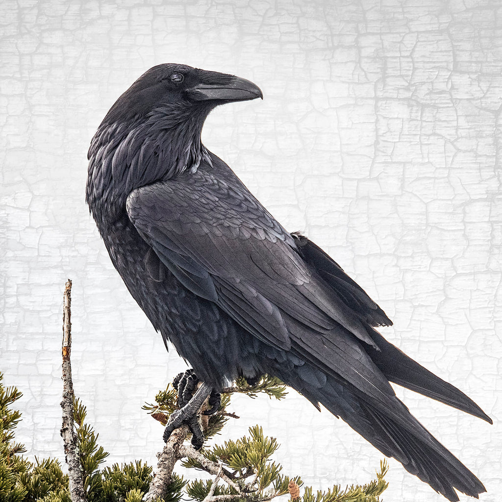 RAVEN'S EYE VIEW - Fine Art Print, Raven Portrait Series