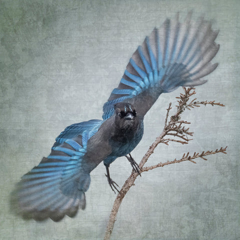 BLUE WINGS (STELLER'S JAY) - Fine Art Print, Garden Birds Series
