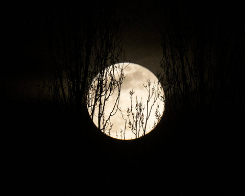 Super Worm Moon with Poplars - Fine Art Print, By Special Request Series