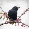 BERRY CROW - Fine Art Print, Crow Portrait Series