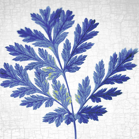 BLEEDING HEART LEAF - Fine Art Print, Botanical Blueprint