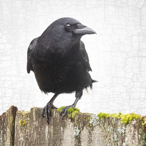 CROW ON A MOSSY FENCE - Fine Art Print, Crow Portrait Series