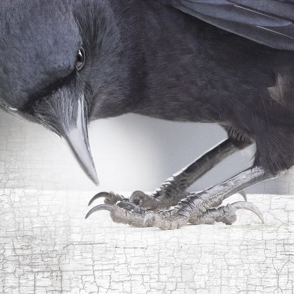 CROW'S FEET - Fine Art Print, Crow/Raven Portrait Series