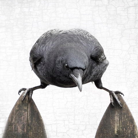 BALANCE - Fine Art Print, Crow Portrait Series