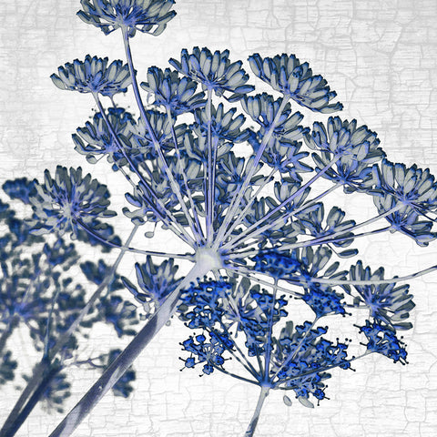 BLUE FENNEL - Fine Art Print, Botanical Blueprint