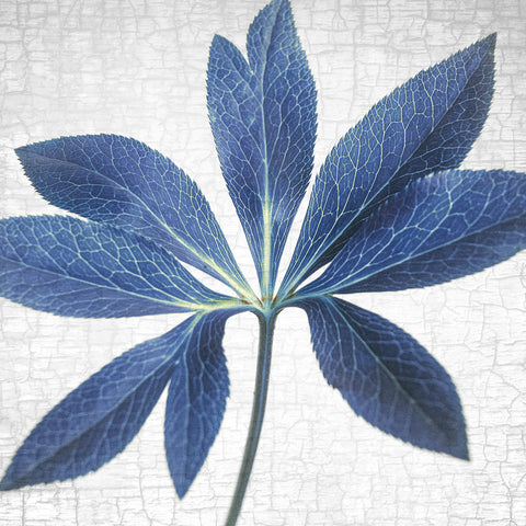 HELLEBORE LEAF - Fine Art Print, Botanical Blueprint