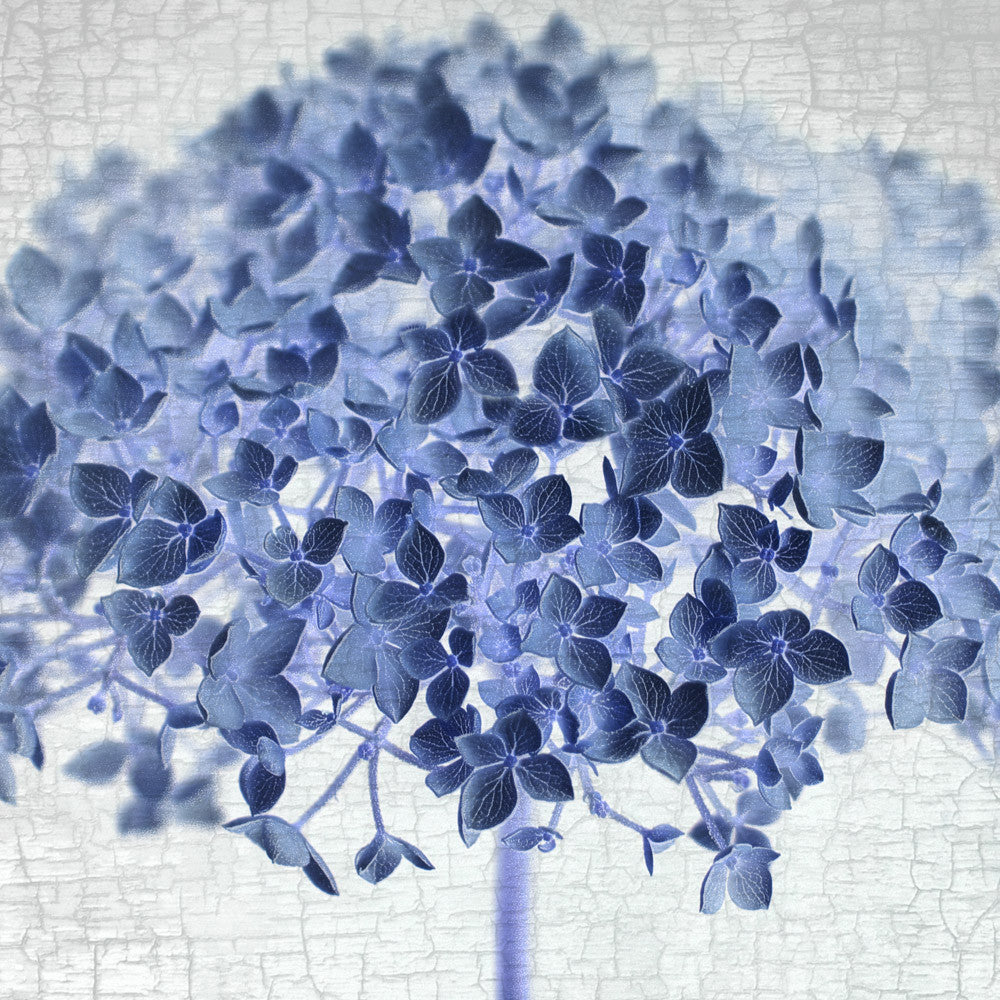 Blue hydrangea 4 fine art print botanical blueprint june hunter blue hydrangea 4 fine art print botanical blueprint malvernweather Image collections
