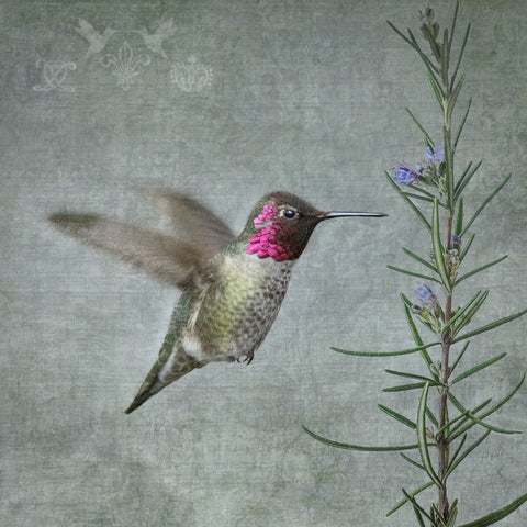 MALE ANNA'S HUMMINGBIRD WITH ROSEMARY - Fine Art Print, Garden Birds Series