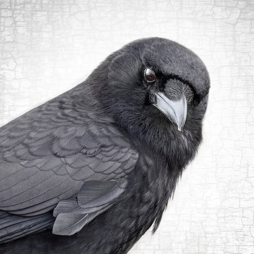MAGNIFICENT MARVIN - Fine Art Print, Crow Portrait Series