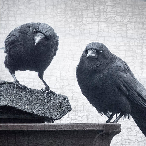 JUDGEMENTAL CROWS - Fine Art Print, Crow Portrait Series