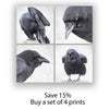 BEDRAGGLED CROW - Fine Art Print, Crow Portrait Series