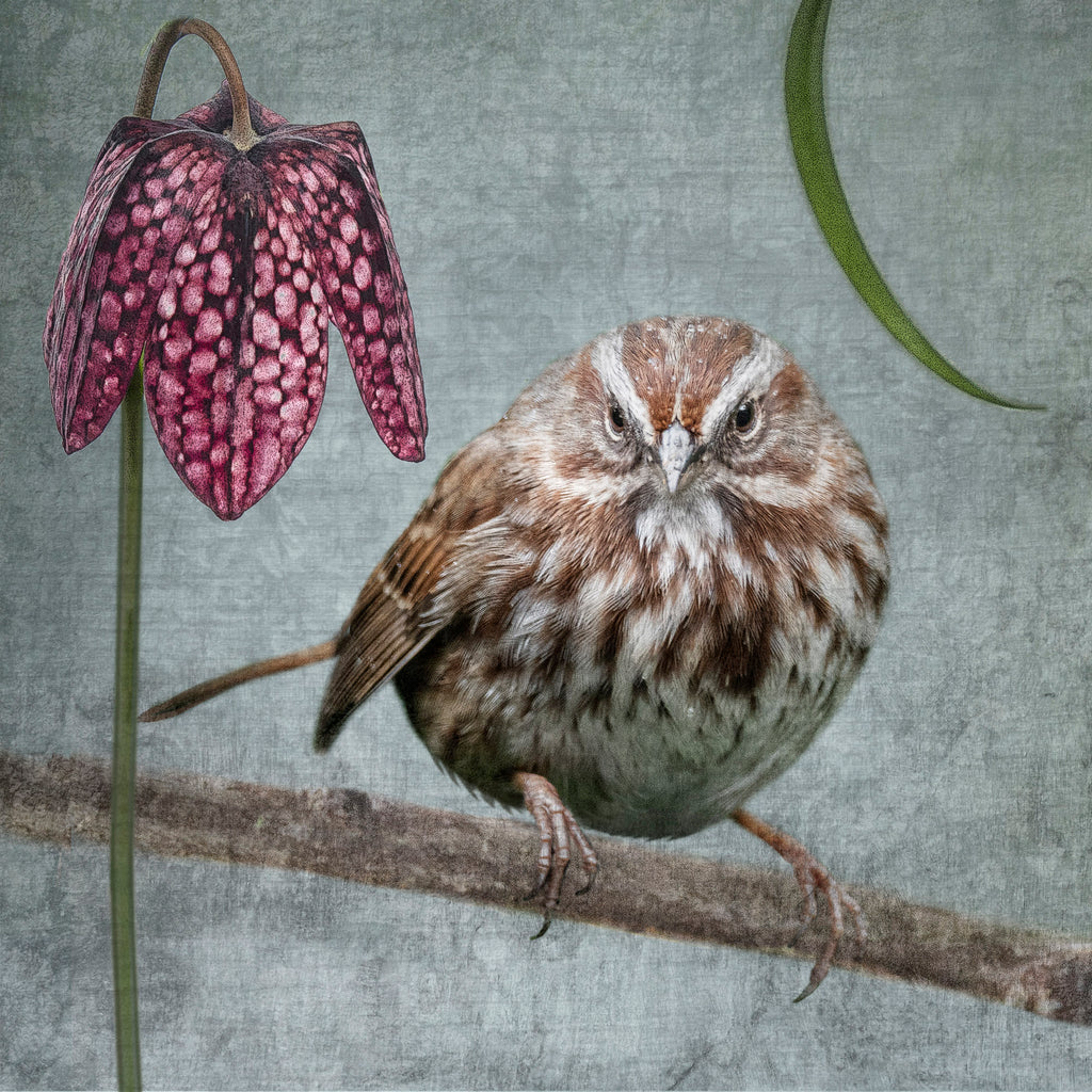 SONG SPARROW WITH FRITILLARIA - Fine Art Print, Garden Birds Series