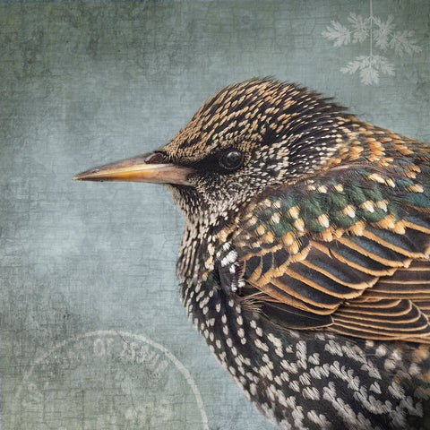 COMMON STARLING - Fine Art Print, Garden Birds Series