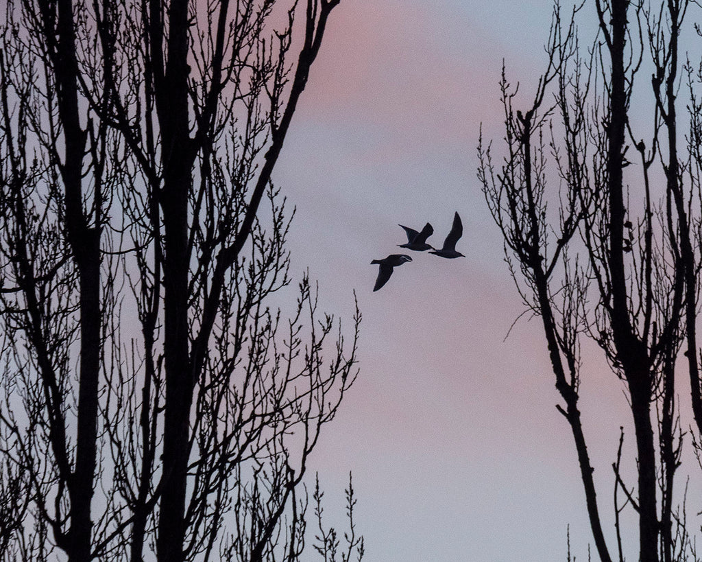 Three Birds in the Poplars - Fine Art Print, By Special Request Series