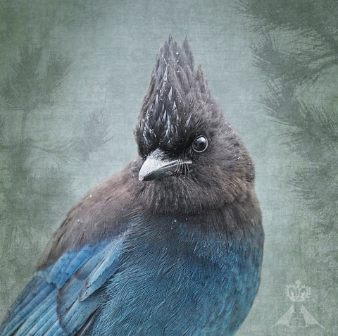 RAINY DAY STELLER'S JAY - Fine Art Print, Garden Birds Series