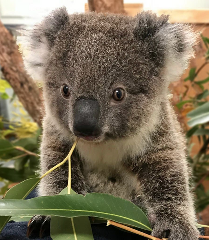 Myoora Jarrah one of our adopted koalas at The Port Macquarie Koala Hospital