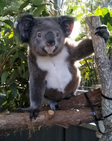 Lismore Rose, one of our adopted Koalas from The Port Macquarie Koala Hospital