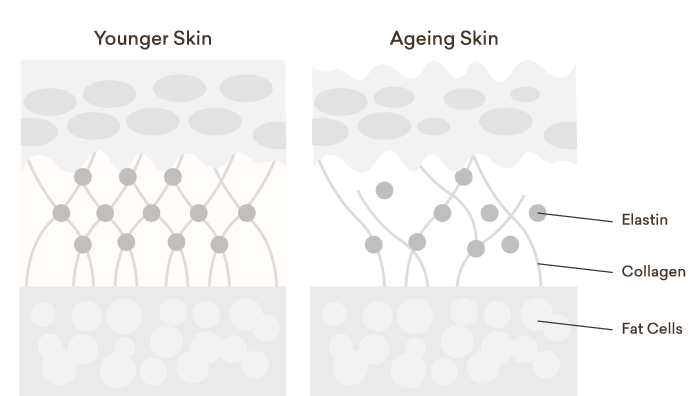 Diagram to demonstrate how it works with the collagen and elastin to strengthen the skin and keep the structure.