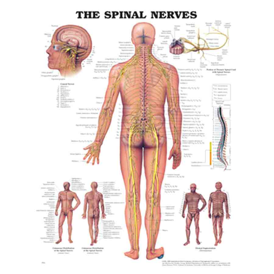 CHART THE SPINAL NERVES