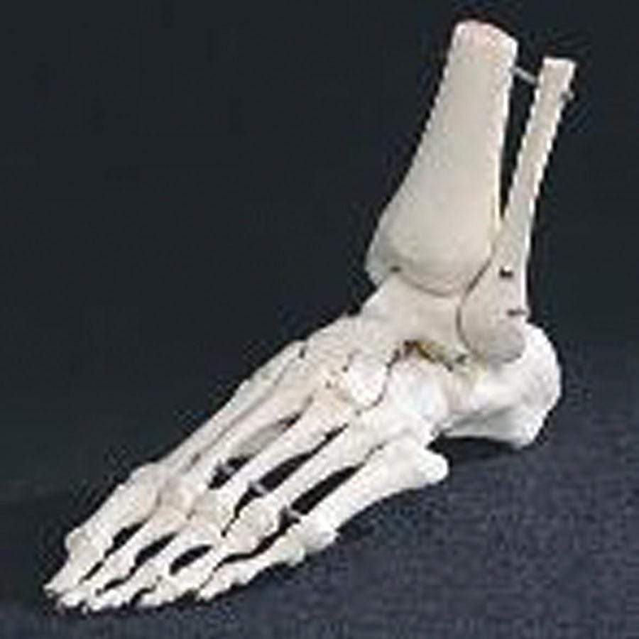 MODEL LIMB MODELS FOOT SKELETON