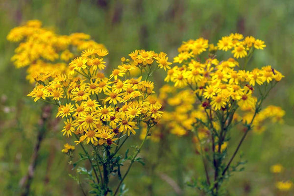 What is Ragwort?