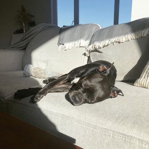 Black dog sleeping on grey couch in the sun