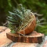 Live Succulent Haworthia Attenuata in Coconut Shell Planter