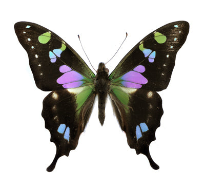 evolution store butterfly