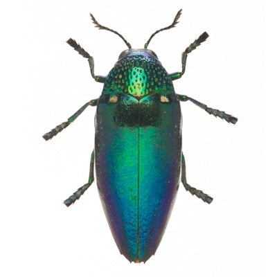 evolution store green beetle