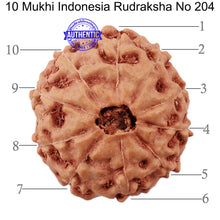 Load image into Gallery viewer, 10 Mukhi Rudraksha from Indonesia - Bead No. 204