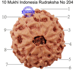 10 Mukhi Rudraksha from Indonesia - Bead No. 204