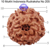 Load image into Gallery viewer, 10 Mukhi Rudraksha from Indonesia - Bead No. 205