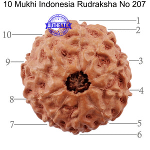 10 Mukhi Rudraksha from Indonesia - Bead No. 207