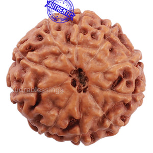 10 Mukhi Rudraksha from Indonesia - Bead No. 208