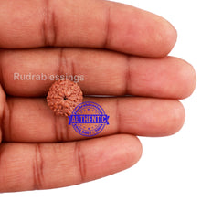 Load image into Gallery viewer, 10 Mukhi Rudraksha from Indonesia - Bead No. 191