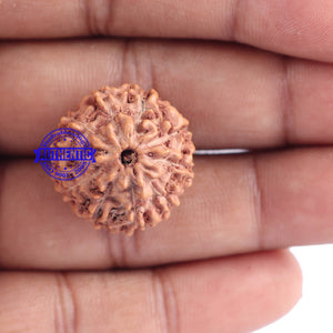 10 Mukhi Rudraksha from Indonesia - Bead No. 110