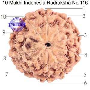 10 Mukhi Rudraksha from Indonesia - Bead No. 116