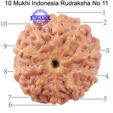 Load image into Gallery viewer, 10 Mukhi Rudraksha from Indonesia - Bead No. 11