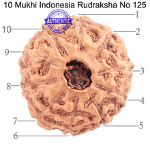 Load image into Gallery viewer, 10 Mukhi Rudraksha from Indonesia - Bead No. 125