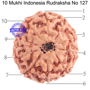 10 Mukhi Rudraksha from Indonesia - Bead No. 127
