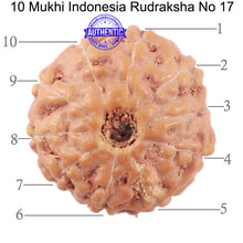 Load image into Gallery viewer, 10 Mukhi Rudraksha from Indonesia - Bead No. 17