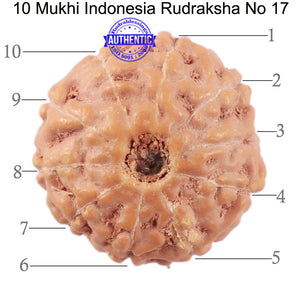 10 Mukhi Rudraksha from Indonesia - Bead No. 17