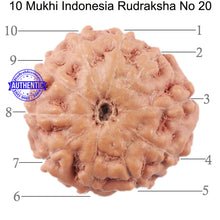 Load image into Gallery viewer, 10 Mukhi Rudraksha from Indonesia - Bead No. 20