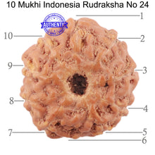 Load image into Gallery viewer, 10 Mukhi Rudraksha from Indonesia - Bead No. 24
