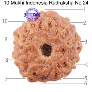 10 Mukhi Rudraksha from Indonesia - Bead No. 24