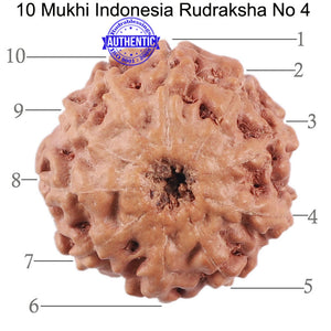 10 Mukhi Rudraksha from Indonesia - Bead No. 4