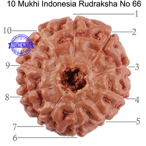 10 Mukhi Rudraksha from Indonesia - Bead No. 66