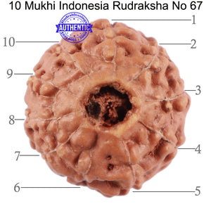 10 Mukhi Rudraksha from Indonesia - Bead No. 67
