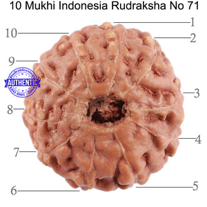 10 Mukhi Rudraksha from Indonesia - Bead No. 71