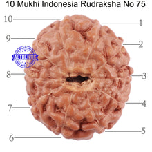 Load image into Gallery viewer, 10 Mukhi Rudraksha from Indonesia - Bead No. 75